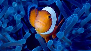 clownfish poissonclown